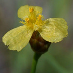 Bog Yellow-eyed-grass